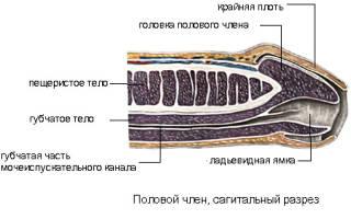 Половой член – строение и размеры