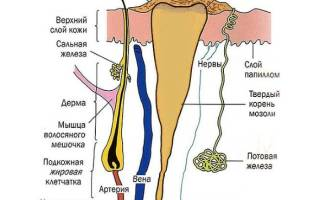 Корень стержневой мозоли