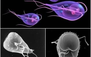 Цисты лямблий в кале у ребенка: причины, лечение